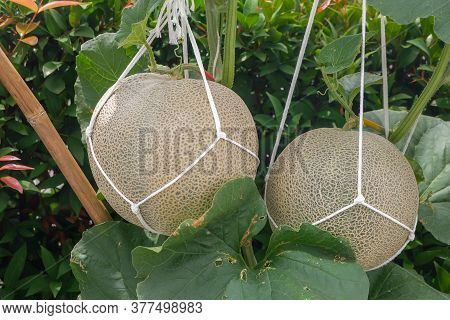 Green Melons Or Cantaloupe Melons (cucumis Melo) Plants Growing In Garden Supported By String Melon