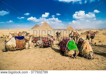 Camels at the foot of the Giza Pyramids, Cairo, Egypt,