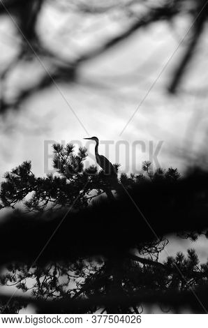 Heron On Its Nest Is Observing Nature, Umbra Forest, Puglia, Italy