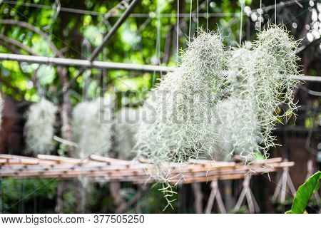 Spanish Moss Or Tillandsia Usneoides Hanging In Tropical Green Garden. Gardening Decoration Spanish