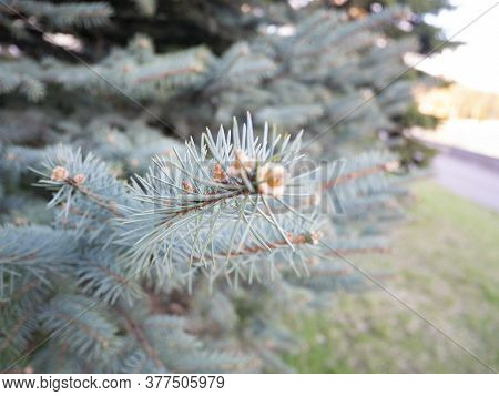 Branch Of Blue Fir Tree. Christmas Pine Background. Fir-tree Decoration, New Year