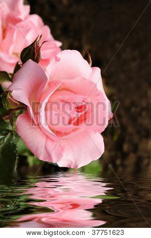 Pink rose reflecting in water