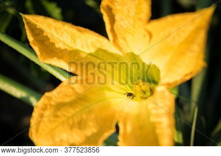 Yellow Zucchini Flower With Bee On Pistil