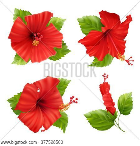 Realistic Set Of Isolated Hibiscus Flower Images With Leaves And Stems On Blank Background Vector Il