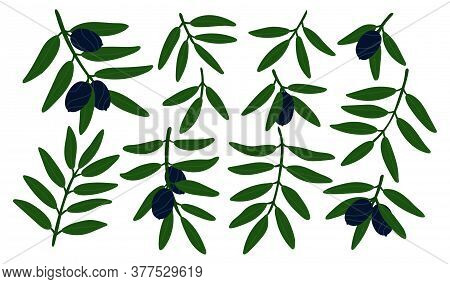 Green Plants With Black Olives. Olive Tree Branches Set. Isolated Vector Elements For Design. Olive