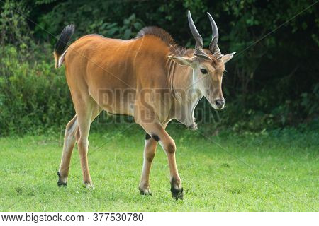Common Eland Crosses Short Grass By Bushes