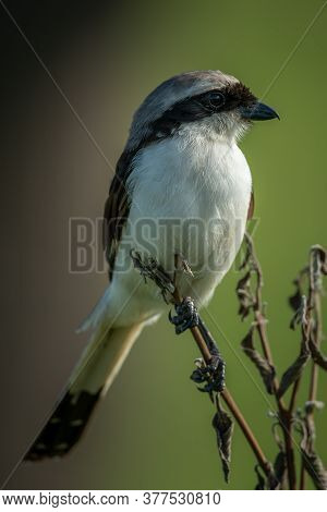 Grey-backed Fiscal Perches On Plant Eyeing Camera
