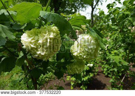 Dense Corymbs Of White Flowers Of Viburnum Opulus Sterile In May