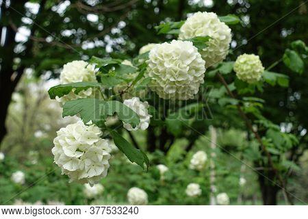 Globose White Inflorescences Of Viburnum Opulus Sterile In May