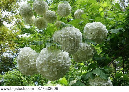 Globose White Inflorescences Of Viburnum Opulus Sterile In Mid May