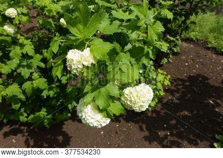 Globular White Inflorescences Of Viburnum Opulus Sterile In May