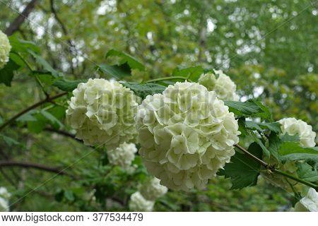 Greenish White Inflorescences Of Viburnum Opulus Sterile In May