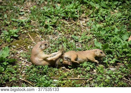 Adorable Pair Of Playing Prairie Dogs After A Brawl.