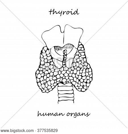 Thyroid Structure And Parts. Hand-drawn Icon Isolated On White Background Human Internal Organs. Lin