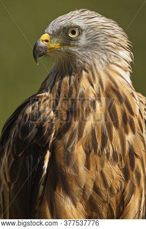 The Red Kite (milvus Milvus) Raptor Portrait. The Red Kite Is A Medium-large Bird Of Prey In The Fam