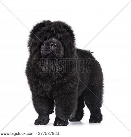 Majestic Solid Black Chow Chow Dog Pup, Standing Sideways Facing Front. Looking Towards Camera. Mout