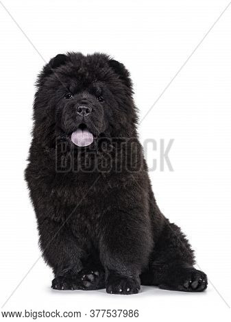 Majestic Solid Black Chow Chow Dog Pup, Sitting Up Facing Front. Looking Towards Camera. Mouth Ope A