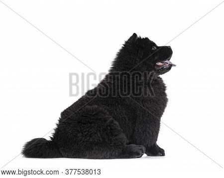 Majestic Solid Black Chow Chow Dog Pup, Sitting Up Side Ways.   Looking Straight Ahead Side Ways. Mo