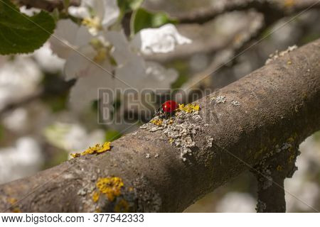 Ladybug Close Up. Coccinellidae On A Branch Of A Blossoming Apple Tree