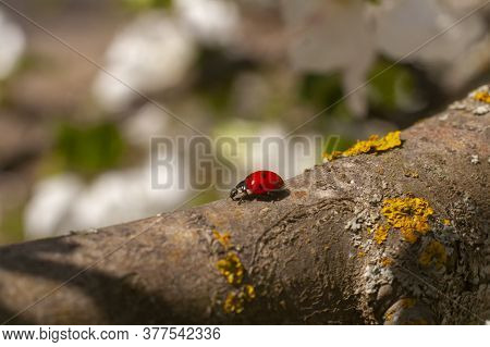 Coccinellidae Close Up. Ladybug On A Branch Of A Blossoming Apple Tree
