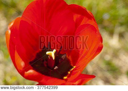 Tulip Close-up. Pestle And Stamen Of A Tulip.
