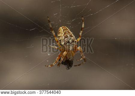 Araneus Diadematus Is Commonly Called The European Garden Or Diadem Spider, Orangie, Cross Spider, C