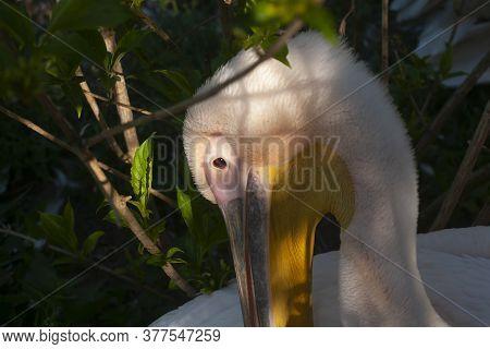 A Horizontal Photo Of A Pelican Head. Portrait Of A Pelican.
