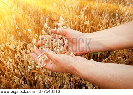 Ears Of Ripe Oats In The Hands Of An Elderly Woman For A Design On The Theme Of Farming, Agriculture