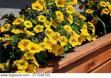 Yellow Flowers Among Green Leaves On Wooden Flowerbed