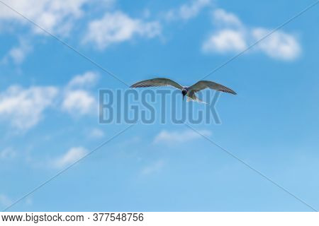 Flying Seagull, Seagull In The Blue Sky