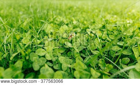 Lucky Irish Four Leaf Clover In The Field For St. Patricks Day. Clover In Meadow In Spring. Closeup