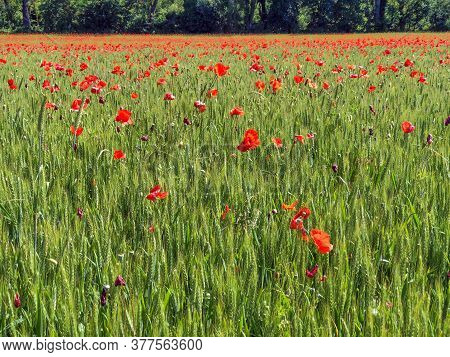 Field Of Red Poppies. Summer Concept. Wild Flowers Background. Copy Space