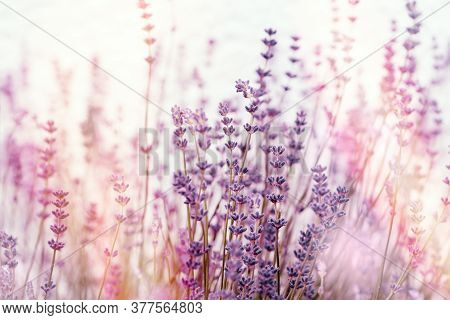 Soft Focus On Lavender Flowers, Flowering Lavender Flowers In Flower Garden