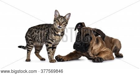 Savannah F7 Cat And Boerboel Malinois Cross Breed Dog, Playing Together. Cat Standing With Funny Exp