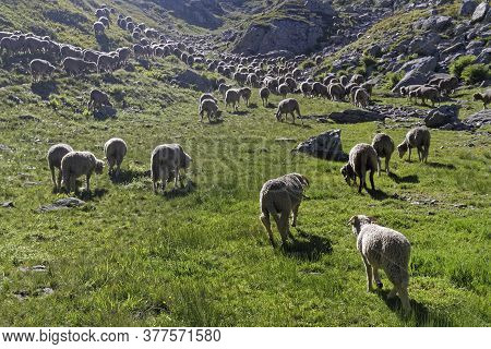 A Sheeps Herd In The Meadows Of Pas De La Coche