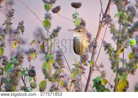 The Clamorous Reed Warbler Is An Old World Warbler In The Genus Acrocephalus. It Breeds From Egypt E
