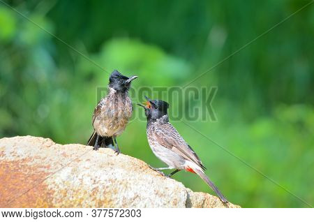 The Red-vented Bulbul Is A Member Of The Bulbul Family Of Passerines. It Is A Resident Breeder Acros