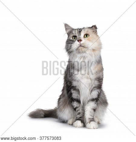 Cute Silver Tortie Maine Coon Cat, Sitting Facing Front. Looking Up With Green Eyes. Isolated On A W