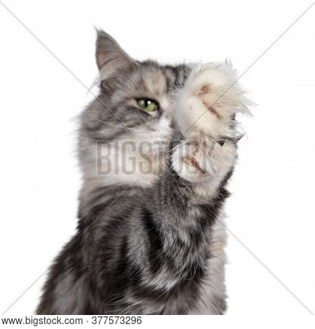 Head Shot Of Cute Silver Tortie Maine Coon Cat. Looking Beside Camera With Green Eyes. Isolated On A