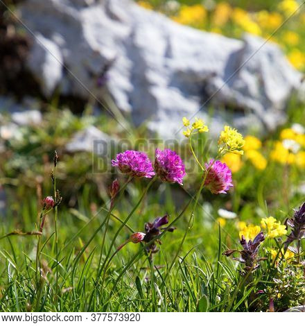 Colorful Flowers On The Slopes Of The Italian Dolomites, Green Meadow With Boulders