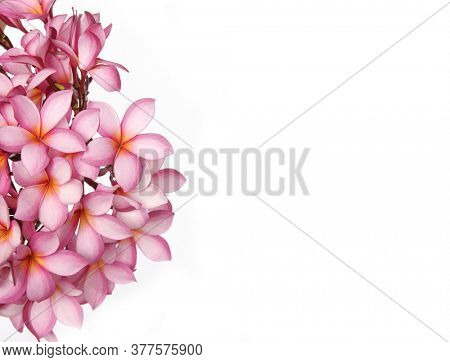Plumeria flowers or Frangipani flower isolated on white background with clipping path with copy space