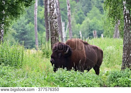 American Bison In The Birch Grove