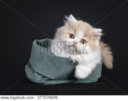Fluffy Creme With White British Longhair Cat Kitten, Laying Down Facing Front In Green Velvet Bag. L