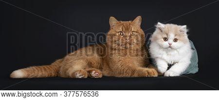 Fluffy Creme With White British Longhair Cat Kitten, Sitting  In Green Velvet Bag Beside Adult Red B
