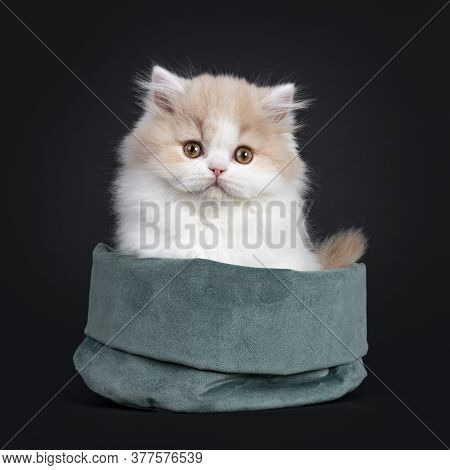 Fluffy Creme With White British Longhair Cat Kitten, Sitting Facing Front In Green Velvet Bag. Looki