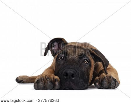 Handsome Boerboel / Malinois Crossbreed Dog, Laying Down Facing Front. Head Down, Looking Ahead With