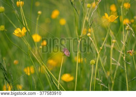 Yellow Wildflowers In The Grass. Ranunculus, Buttercup Flowers.
