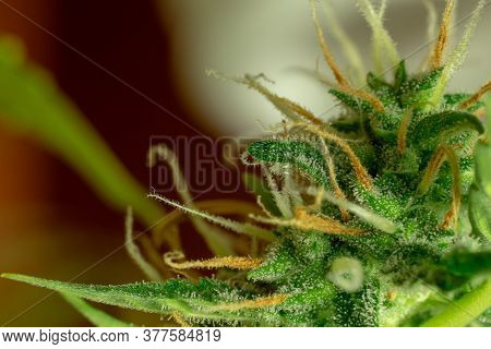 Marijuana Bud Macro Photo, Cannabis Trichomes, Sativa Plant. Medical And Recreational Thc And Cbd.