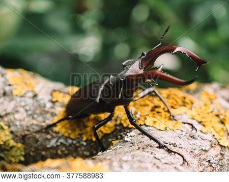 Stag beetle bug at natural habitat