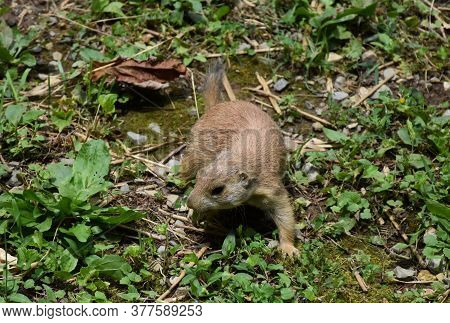 Adorable Black Tailed Prairie Dog Playing In Weeds.